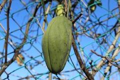 Fruta verde de la hiedra que sube imagen de archivo libre de regalías