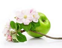 Fruta verde de la manzana aislada con las flores rosadas Imagen de archivo libre de regalías