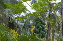 Fruta verde de la papaya tropical Imagen de archivo libre de regalías