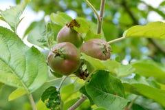 Fruta verde de las manzanas en árbol Fotografía de archivo libre de regalías