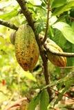 Fruta verde del cacao en ramas en un jardín Foto de archivo