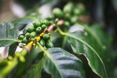 Fruta verde del café en la plantación de café en la isla de Oahu imagen de archivo libre de regalías