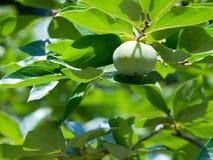 Fruta verde del caqui imagen de archivo libre de regalías