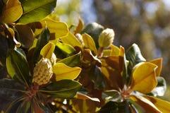 Fruta verde exótica en el árbol imagenes de archivo