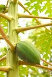 Fruta verde inmadura de la papaya producida en Carica planta de la papaya junto con las ramas y las hojas - nutrición orgánica na imagen de archivo libre de regalías