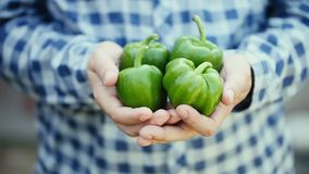 Fruta verde orgánica de la pimienta en manos del hombre almacen de video