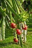 Fruta verde y roja del dragón foto de archivo