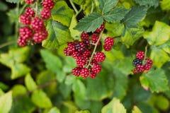 Fruta vermelha da amora-preta na natureza Imagem de Stock Royalty Free