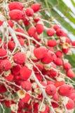 Fruta vermelha da palma Imagem de Stock Royalty Free