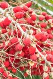Fruta vermelha da palma Imagens de Stock Royalty Free