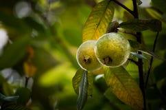 Fruta y árbol de guayaba fotos de archivo