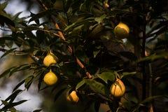 Fruta y árbol de la nuez moscada moscada fotos de archivo libres de regalías