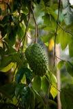 Fruta y árbol muricata del Annona imágenes de archivo libres de regalías