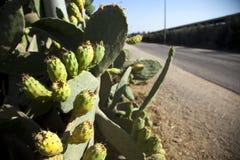 Fruta y carretera nacional del higo chumbo Imagen de archivo