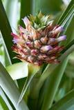 Fruta y flor de la piña Foto de archivo