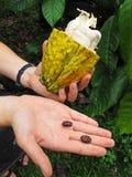 Fruta y habas del cacao foto de archivo libre de regalías