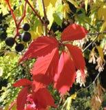 Fruta y hojas del quinquefolia del Parthenocissus Imagen de archivo libre de regalías