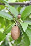 Fruta y hojas del zapote. imagenes de archivo