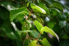 Frutages di Actinidia sul ramo Fotografie Stock