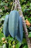 Frutas - árbol de Babaco imagen de archivo