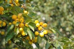 Frutas amarillas del otoño Fotos de archivo libres de regalías