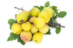 Frutas amarillas, ramificaciones espinosas, hojas Foto de archivo libre de regalías