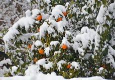 Frutas anaranjadas bajo la nieve Imágenes de archivo libres de regalías