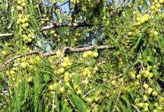Frutas ayurvedic de la grosella espinosa india Imagen de archivo libre de regalías