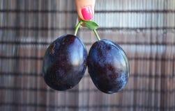 Frutas azules oscuras jugosas de los ciruelos en manos fotos de archivo