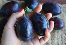Frutas azules oscuras jugosas de los ciruelos en manos fotografía de archivo