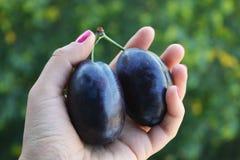 Frutas azules oscuras jugosas de los ciruelos en manos imágenes de archivo libres de regalías