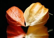 Frutas chinas de la linterna Imagenes de archivo