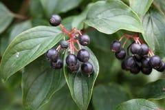 Frutas comunes del cornejo Fotografía de archivo