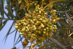 Frutas crudas de la palma datilera Fotografía de archivo