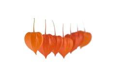 Frutas da cereja de inverno Imagens de Stock Royalty Free