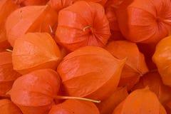 Frutas da cereja de inverno Fotografia de Stock