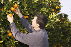 Frutas da colheita da colheita do fazendeiro do campo da árvore alaranjada Fotos de Stock Royalty Free