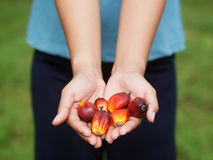 Frutas da palma de petróleo Fotos de Stock