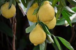 Frutas de árbol de limón fotografía de archivo