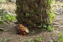 Frutas de aceite de palma Imágenes de archivo libres de regalías