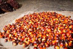 Frutas de aceite de palma foto de archivo libre de regalías
