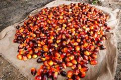 Frutas de aceite de palma fotografía de archivo libre de regalías