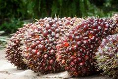 Frutas de aceite de palma Fotografía de archivo