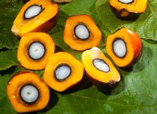 Frutas de aceite de palma Imagen de archivo libre de regalías