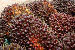 Frutas de aceite de palma Fotos de archivo libres de regalías