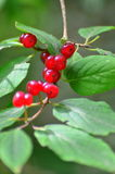 Frutas de baga frescas Imagem de Stock Royalty Free