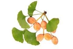 Frutas de Biloba del Ginkgo seccionadas transversalmente Foto de archivo libre de regalías