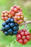 Frutas de Blackberry Imagenes de archivo