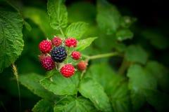 Frutas de frambuesas negras en dos etapas de la maduración, de la baya negra madura y de bayas rojas inmaduras Fotografía de archivo libre de regalías