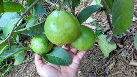 Frutas de guayaba hermosas a mano Foto de archivo